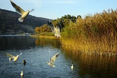Ipsach,la Baie aux oiseaux (jd.echenard) Tags: roseaux oiseaux biel mouettes bielbienne bienne bielersee seeland lacdebienne cantondeberne ipsach paysagesuisse switzerlandlandscape schweizerlandschaft lakeofbienne