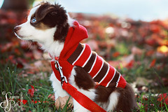 G R A C I E (Suzanne Pyle Photography) Tags: dog girl canon puppy adorable australianshepherd dogsweater dogportrait suzannepylephotography falldogportrait