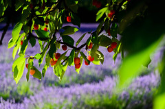 "Cherries with Lavender Backdrop • <a style=""font-size:0.8em;"" href=""https://www.flickr.com/photos/21540187@N07/8145560513/"" target=""_blank"">View on Flickr</a>"