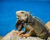 Natural beauty! (Jambo53 (!)) Tags: sea green nature yellow rocks earlymorning natuur zee aruba lizard iguana leguan hagedis reptiel specanimal nikond80 robertkok nikor18135 dutchcaribean photoofthedaynwf12
