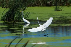Great Egrets (trek22 (on the road...)) Tags: delaware egrets greategrets explored bombayhooknationalwildliferefuge trek22 explore20121103