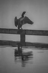 Cormorant, mist (scyrene) Tags: blackandwhite bw mist lake bird water monochrome fog stanleypark cormorant