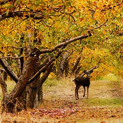 In the Orchard (gordeau) Tags: autumn fall square orchard deer gordon apples ashby unanimous thechallengefactory gordeau