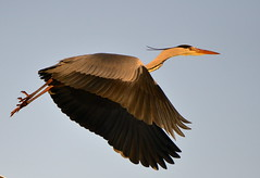 Take off... (Jambo53 (back and catching up)) Tags: heron nature netherlands wings wildlife natuur bluesky groenehart vleugels coth supershot specanimal animalkingdomelite nikon70300vr robertkok avianexcellence eiap goldwildlife nikond800 jambo53 grijzereiger