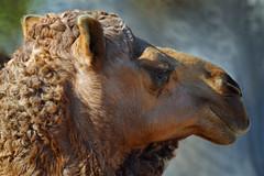 Dromedary Camel (Chris Hunkeler) Tags: portrait zoo head profile dromedary camel sandiegozoo woolly