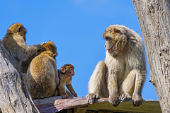 Macaque family (Tambako the Jaguar) Tags: family blue sky zoo monkey switzerland nikon many young luzern together ape lucerne primate rothenburg macaque d4 barbary toniszoo