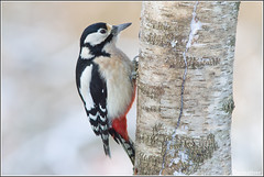 Grote Bonte Specht -  Great Spotted Woodpecker (wimzilver) Tags: winter snow sneeuw vogels 7d vogel koud greatspottedwoodpecker winterlicht grotebontespecht canon300mmf4lis wimzilver canon300mmf4lis14ex vogelhuthanbouwmeester