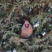 Female cardinal in cedar hedge. Photo: Alice Connors, Cumberland Head, NY