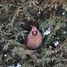 Female cardinal in cedar hedge. Photo: Alice Connors, Cumberland Head, NY