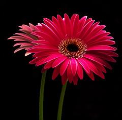 (yamstar1) Tags: red flower closeup gerbera flowerthequietbeauty