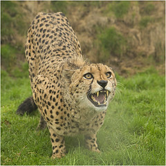 Murphy the Cheetah (hisdream) Tags: male kent bigcat cheetah whf