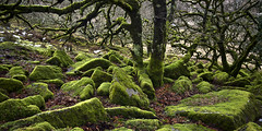 Wistmans Wood (yadrad) Tags: wood devon dartmoor dartmoornationalpark southwestwistmans