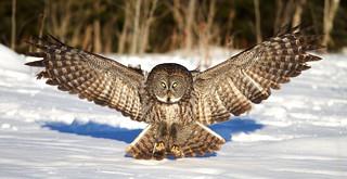 Great Grey Owl, Ottawa, Canada