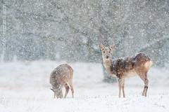 B.L.E06 (S.Hello.Flikr) Tags: winter snow nature netherlands animal mammal snowflakes dunes sneeuw snowstorm natuur deer duinen dier roedeer awd noordholland sneeuwvlokken ree capreoluscapreolus amsterdamsewaterleidingduinen waterleidingduinen twoanimals zoogdier sneeuwbui