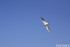 Brown-headed Gull, Chroicocephalus brunnicephalus (prasanth2406) Tags: color nature water photography nikon colorfull wildlife gull indian national catch nikkor dslr chennai nationalgeographic prasanth brownheaded nikondslr brownheadedgull chennaibirds chroicocephalus chroicocephalusbrunnicephalus brunnicephalus d3100 prastography prasanthphotos