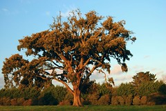 Beech Tree at Kiltennell near Ballymoney (murtphillips) Tags: soe autofocus flickrestrellas mygearandme ringexcellence flickrstruereflection1 magicmomentsinyourlifelevel1 creativephotocafe besteverdigitalphotography besteverexcellencegallery