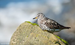 Sitting on a rock by the bay (Photosuze) Tags: biards avians aves surfbirds sitting shorebirds animals nature wildlife rocks ocean