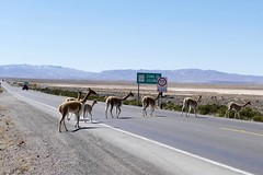Vicuas Alpacas crossing the street in Salinas & Aguada Blanca National Reserve Arequipa Peru (roli_b) Tags: vicunas vicuna vicuas vicua alpaka lama llama animal cameloid crossing street calle caretera salinas y aguada blanca national reserve salinasyaguadablanca colca canon arequipa peru sdperu south strasse wild mountain montaas andes anden