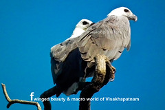 white-bellied-sea-eaglepair---1-copy (prem swaroop) Tags: whitebellied sea eagle perch monogomus good visibility they live together for life