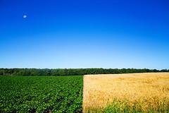 :: split field :: (mjcollins photography) Tags: blue sky farm field soybeans wheat green gold golden moon half summer rural landscape minnesota lines minimal