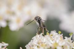 Carrot wasp (Gasteruption jaculator) (stephensmith54831) Tags: macro hymenoptera sbr200 tokina100mm gasteruptionjaculator d7000 carrotwasp