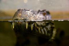 Prehistoric (Brighthelmstone10) Tags: crocodilesoftheworld oxfordshire schneidersdwarfcaiman caiman crocodile teeth tooth smcpda1650mmf28edalifsdm