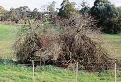 Fading. (nikki.lake) Tags: film 35mm canonae1 analogue daylesford victoria tree farm