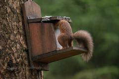 Red Squirrel (kfjmiller) Tags: 150600mm 2016 aberfoyle animal august birds forest nature nikon nikond610 outdoors queenelizabethforest redsquirrel squirrel tamron thelodge trees wildlife wood