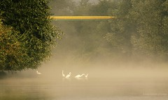 The most beautiful great egrets...:) (Anne takes photos) Tags: herons great egrets can canon photography poland przemyl wild nature natural lovely light fog river