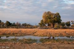 DT-145 (Photography by Brian Lauer) Tags: botswana dumatau africa safari safaris wildlife travel nikonphotography nikon lion elephant hippo fisheagle saddlebilledstork piedkingfisher lilacbreastedroller wilddog