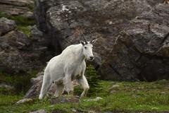 Mountain Goat at Glacier (Iftekhar Naim) Tags: glaciernationalpark mountaingoat glacier wildlife nature montana