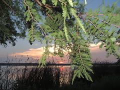 (Photosintheattic) Tags: outdoor lake flickr whiterocklake trees plant wildplants lighting sunset dusk