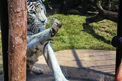 Play with the tiger 4 (Rolf Piepenbring) Tags: weisertiger tiger whitetiger zoooverloon wittetigger