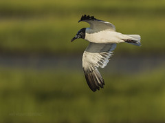 Laughing Gull - Edwin B. Forsythe National Wildlife Refuge, Oceanville, New Jersey (redforester) Tags: anthonycedrone laughing flight flyimg wings marsh mudflats galloway newjersey bird refuge wildlife blackandwhite summer