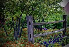 Peck Farm - Explore #427 - 8-16-2016  - Geneva Illinois (Meridith112) Tags: peckfarm farm illinois il kanecounty geneva genevaparkdistrict fence fencefriday happyfencefriday hff flowers flower midwest nikond610 nikon nikon105 summer august 2016