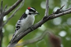 Downy Woodpecker (Rita Wiskowski) Tags: sheridanpark cudahy wisconsin milwaukeecounty park downywoodpecker woodpecker bird sumac green