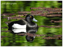 Tufted Duck (shillphotography001) Tags: tufted duck water reflection black white green eye yellow