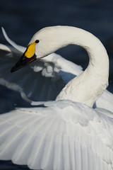 Portrait of Cygnus Columbianus III (lakeside_cat) Tags: cygnuscolumbianus swan bird winterbird waterfowl lakebiwa birdportrait portrait     nikon d4s nikond4s