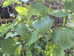 2016-08-14 at 12-20-49 (Mollivan Jon) Tags: redcliffs kawakawa taxonomy:family=piperaceae barnettpark miscellaneouskeywords cultivated naturewatchnz observationaddedtonaturewatchnz piperexcelsum mollivan photowithassociateddata taxonomy:kingdom=plantae canterbury taxonomy:common=kawakawa places species southisland newzealand christchurch taxonomy:genus=piper taxonomy:binomial=piperexcelsum iphonesebackcamera415mmf22