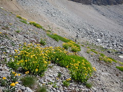 Arnica mollis and Arnica longifolia (Matt Lavin) Tags: arnicalongifolia asteraceae native perennial herb grandtetonnationalpark tetonrange subalpine alpine spearleafarnica arnicamollis hairyarnica