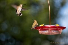August 30, 2016 - Hummingbirds visit a Thornton feeder. (Michelle Jones)