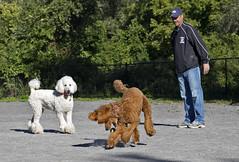 2682 (Jean Arf) Tags: ellison park dogpark rochester ny newyork september autumn fall 2016 poodle dog standardpoodle paul gladys doris play