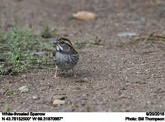 White-throated Sparrow (Bill.Thompson) Tags: whitethroatedsparrow zonotrichiaalbicollis me birds