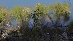 paysage aquatique (jean_game) Tags: nature extrieur paysage eau lac douceur finesse vgtation couleurs pointillisme