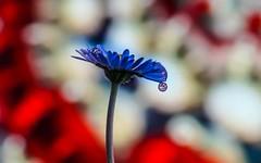 drop (Yasmine Hens) Tags: drop flower hensyasmine namur belgium wallonie europa aaa belgi belgia europe belgien  belgique blgica   belgie  belgio    bel be