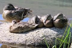 Naptime (Patricia Henschen) Tags: echolake denvermountainparks mallard ducks ducklings mountains park mtevansscenicbyway mtevans scenicbyway idahosprings colorado