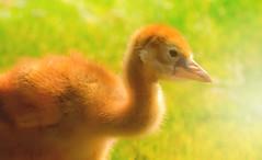 Sweet chick (Delbrcker) Tags: bird vogel animal tier macro makro nature natur outdoor nikond610 nikkor 70200mm 28