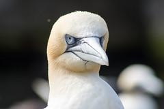 Der Blick (grasso.gino) Tags: tiere animals natur nature vogel bird basstlpel gannet zoo bremerhaven zoammeer nikon d5200 portrait gesicht face