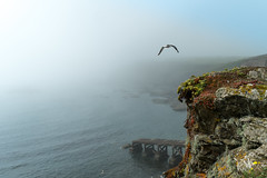 The fog is lifting.... (AJFpicturestore) Tags: fog mist seamist seagull polpeor thelizard lizardpoint cliffs cornwall cornishviews cornishscenery alanfoster nationaltrust
