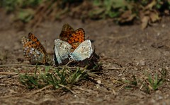 papillons (bulbocode909) Tags: papillons insectes nature montagnes orange
